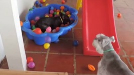 VIDEO: Έτσι αντιδρά ένα σκυλί όταν βλέπει για πρώτη φορά στη ζωή του μπαλάκια!